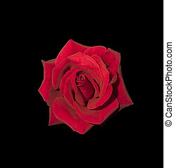 Red rose isolated on black background.