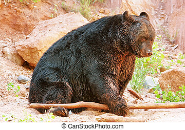 American black bear (Ursus americanus) playing with a stick