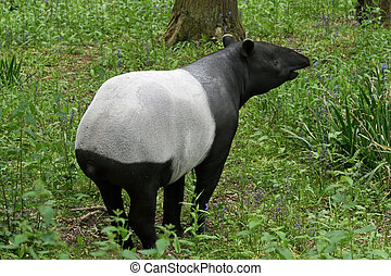 Tapir  - Black and white tapir animal