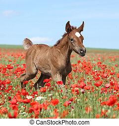 Amazing arabian foal running in red poppy field - Amazing...