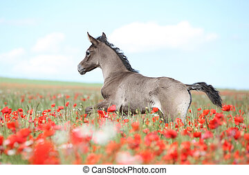Amazing arabian foal running in red poppy field - Amazing...