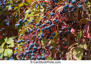 Berries are a Parthenocissus. Poisonous plant of the family...