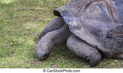 Giant tortoise eating grass at Curieuse Island breeding...