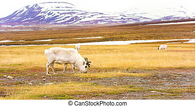 Reindeers in the arctic landscape of Svalbard - Reindeer...