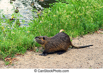 Coypu on the riverside in city park