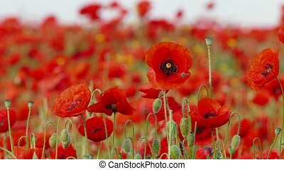 Bees Flying Over Red Blooming Poppies - CLOSE UP This is a...