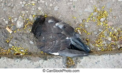 Dead pigeon on the ground - Killed bird by the cat on the...