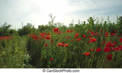 Walking In Fresh Poppy Field - Walking shot in a bright...