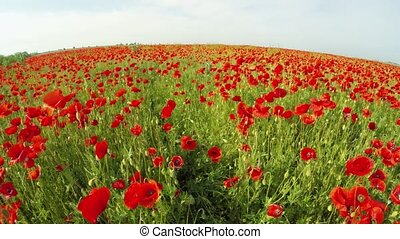 Lots Of Poppies Blooming In Green Field