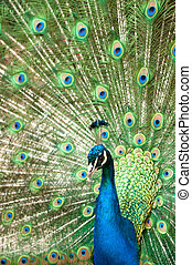 peacock with colorful tail - Beautiful male peacock with...