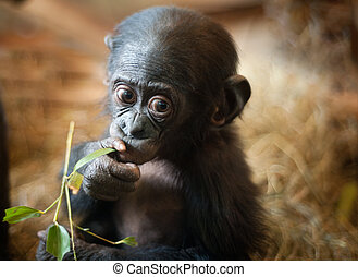 Cute baby Bonobo monkey (Pan paniscus)