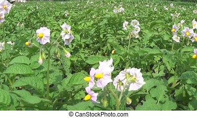 Large field of potato plants in bloom
