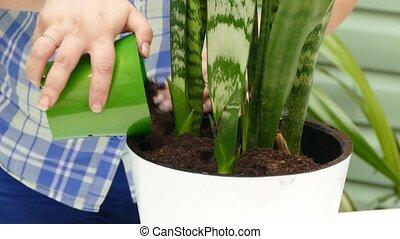 Gardener Transplanting Flower - CLOSE UP shot of a female...