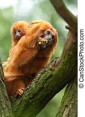 golden lion tamarin baby - A cute golden lion tamarin mother...
