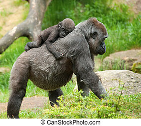 cute baby and mother gorilla - close-up of a cute baby...