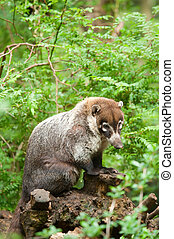White-nosed Coati (Nasua narica), also known as the Pizote...