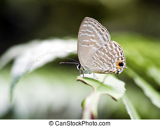 brush-footed butterfly,Prosotas nora formosana -...