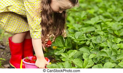 little girl collects strawberries from the garden