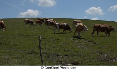 Herd of Grazing Cows on Meadow - The camera moves following...