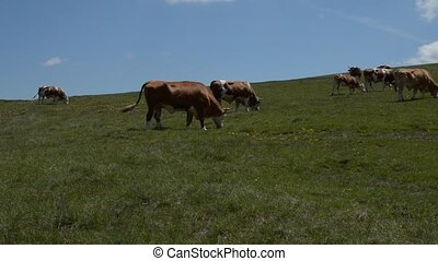 Herd of Grazing Cows - Herd of cows grazing in a pasture on...