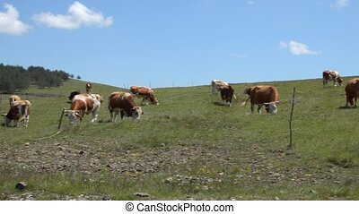 Panning Over Cows - Pan the camera across the field where...