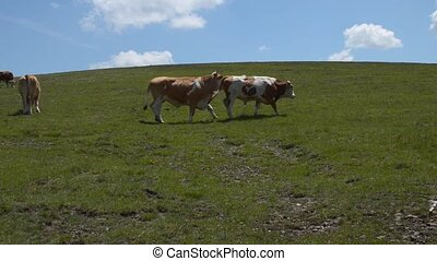 Two Grazing Cows - Camera moves following two cows while...