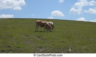 Two Grazing Cows - Two cows grazing grass on pasture on a...