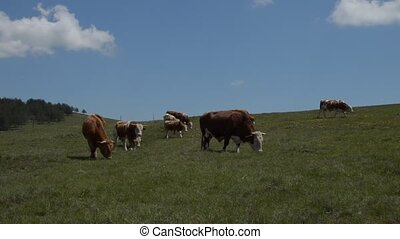 Herd of Grazing Cows on Meadow