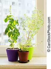 Spicy herbs on the sill - savory, basil and thyme