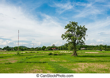 a tree in the paddy field