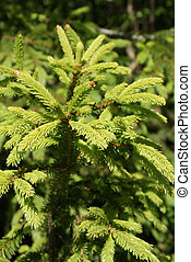 Norway Spruce Picea abies Shoots - A young Norway Spruce...