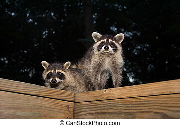 Tw baby raccoon - Two cute baby raccoons on a wooden deck at...