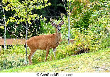 Deer Standing in Grassy Field - A young male black-tailed...