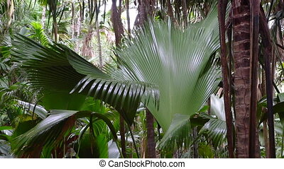 Palm forest Vallee de Mai, Praslin - Nature Reserve palm...