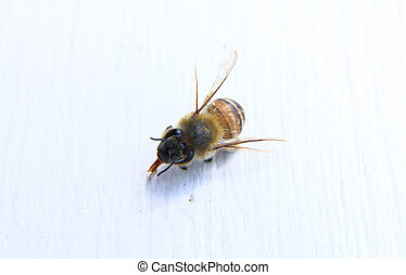 closeup of a bee with white background