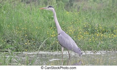 Grey heron, Ardea cinerea, single bird in water, Hungary,...