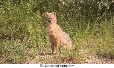 European jackal, Canis aureus moreoticus, Single mammal on...