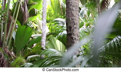 Palm tree forest, Praslin island - Palm tree jungle, Praslin...