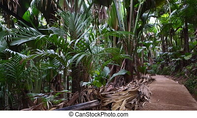 Wild palm tree forest, Praslin - Palm tree forest, Praslin...