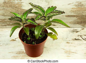 Bryophyllum daigremontianum on wooden table - Bryophyllum...