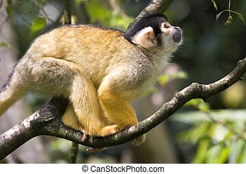 The squirrel monkeys monkey