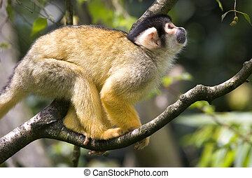 The squirrel monkeys monkey