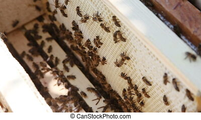 Beekeeping. Working bees on the honeycomb with sweet honey....
