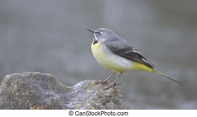 Grey wagtail, Motacilla cinerea, male on rock, Warwickshire,...