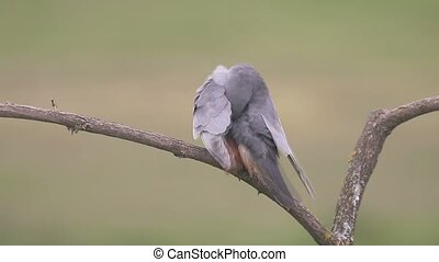 Red-footed falcon, Falco vespertinus, single male on branch,...
