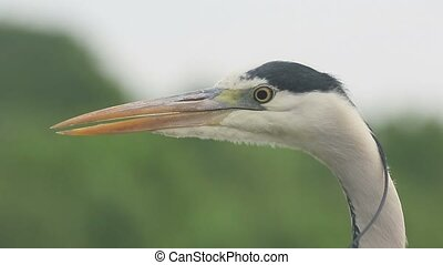 Grey heron, Ardea cinerea, single bird close up, Hungary,...