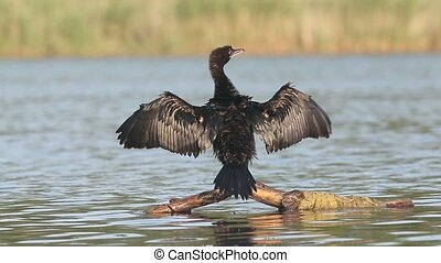 Pygmy cormorant, Phalacrocorax pygmeus, single bird on...