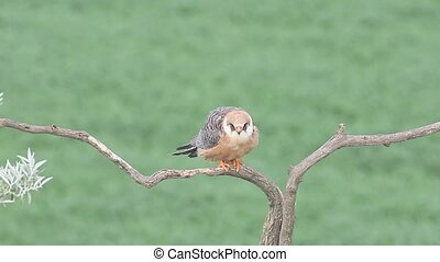 Red-footed falcon, Falco vespertinus, single female on...