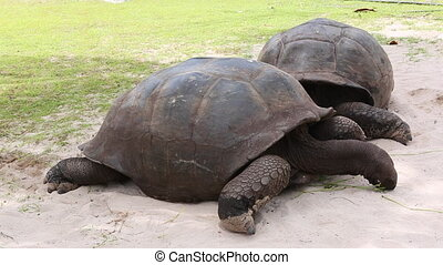 Giant tortoises at Curieuse Island, - Eating giant tortoises...