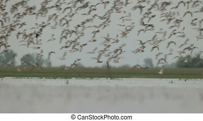 Large flock of waders - Avocets, Black-winged, stilts and...